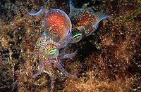southern dumpling squid, Euprymna tasmanica, mating, male grabs female from behind to insert sperm packet, Edithburg, South Australia,