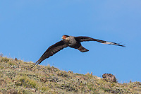 Crested Caracara in flight at Estancia la Angostura in Patagonia