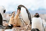 Gentoo penguin (Pygoscelis papua) feeding chick, Cuverville Island, Antarctica
