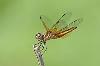 304590007 a male slough amberwing perithemis domitia perches on a dead stick near the naba site along the rio grande river hidalgo county texas united states
