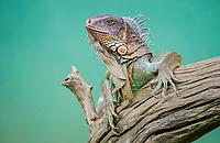Green Iguana; Iguana Iguana; San Jose; Costa Rica, Middle America