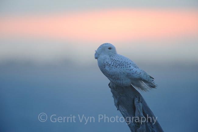 Snowy Owl (Bubo scandiacus) still hunting at dusk. Ocean county, Washington. March.
