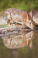 Eastern Cottontail (Sylvilagus floridanus), adult drinking, Sinton, Corpus Christi, Coastal Bend, Texas, USA