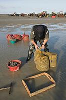 Europe/France/Picardie/80/Somme/Baie de Somme/Le Hourdel: ramassge des coques de La Baie de Somme, à la Pointe du Hourdel - Auto N°:2008-205  N°:2008-206