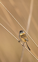 Another of the many small bird species seen and photographed in Emas National Park.