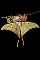Indian Moon Moth / Indian Luna Moth {Actias selen} emerging from cocoon.  Captive. Sequence 24 of 24. website