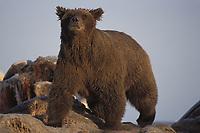 brown bear, Ursus arctos, grizzly bear, Ursus horribilis, mother scavenging on bowhead whale, Balaena mysticetus, carcass, 1002 coastal plain of the Arctic National Wildlife Refuge, Alaska