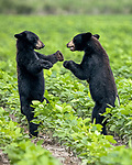 HUG!? A bear cub offers his brother a hug as they wrestle in a field.  The American Black Bears, two out of three siblings, play after eating while their mother grazes close by.<br /> <br /> The bear family's den is in a nearby forest but they came out to feed and play in the Alligator River National Wildlife Refuge in the east of North Carolina.  SEE OUR COPY FOR DETAILS.<br /> <br /> Please byline: Jennifer Hadley/Solent News<br /> <br /> © Jennifer Hadley/Solent News & Photo Agency<br /> UK +44 (0) 2380 458800