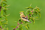 Female American goldfinch perched in a choke cherry tree.