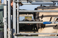 23.11.2020  Technician freeze branding dairy heifers <br /> ©Tim Scrivener Photographer 07850 303986<br />      ....Covering Agriculture In The UK....