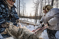 A wolf, that has just been shot, is loaded onto a sledge by hunter Ion Maxsimovic and his assistant Yegor Dyachkovsky. It takes two men as an adult male grey wolf's weight averages 95–99 lb (43-44 Kg).  An explosion of the wolf population has had a devastating impact on the reindeer herds that are the lifeblood for the indigenous Evenki people of the Siberian state of Sakha (Yakutia). In 2012 it was estimated that between 12,000 - 16,000 reindeer were lost to wolf attacks, at a cost of around 15,000 rubles (153.00 GBP) per animal. In response the local authorities introduced a three month hunt with a bounty to encourage hunters to target wolves with the aim of reducing their numbers from 3,500 to 500. Hunters earn 400 USD (280 GBP) per proven kill, plus a further 400 USD (280 GBP) selling the skin to the fur trade. Ion Maksimovic, the region's most celebrated wolf hunter, killed 23 wolves in 2014, more than any other hunter, and in doing so won a prize of 300,000 roubles (3,060 GBP) and a snowmobile.