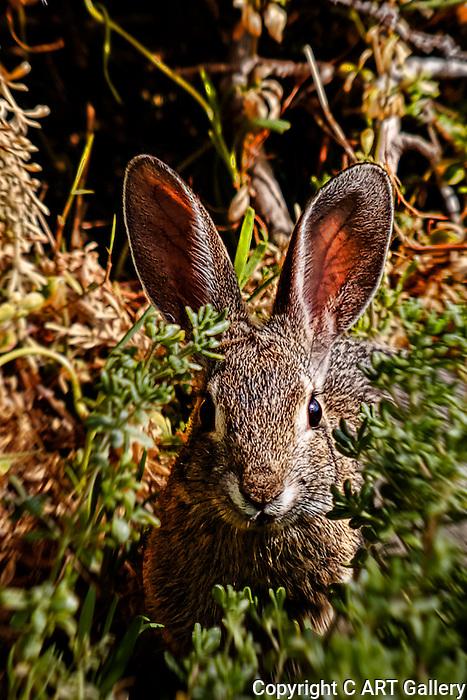 Wild rabbit hiding in Crystal Cove, CA.  Photograph by Alan Mahood.
