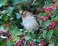 First-winter white-crowned sparrow
