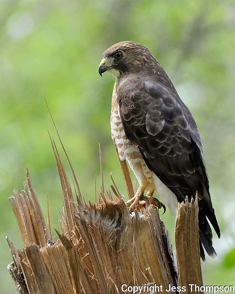 Broad-winged Hawk, Brazos Bend State Park, Texas