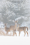 White-tailed doe and her fawns in the early morning fog.