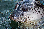 harbor seal, close-up of face looking left