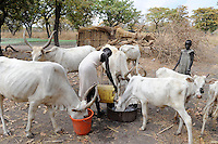 "Afrika Suedsudan Rumbek , Dinka Dorf Colocok , Dinka Frau fuettert und traenkt Ceburinder - Landwirtschaft | .Africa South Sudan Rumbek , Dinka village Colocok, Dinka woman with Cebu cattle - agriculture  | [ copyright (c) Joerg Boethling / agenda , Veroeffentlichung nur gegen Honorar und Belegexemplar an / publication only with royalties and copy to:  agenda PG   Rothestr. 66   Germany D-22765 Hamburg   ph. ++49 40 391 907 14   e-mail: boethling@agenda-fototext.de   www.agenda-fototext.de   Bank: Hamburger Sparkasse  BLZ 200 505 50  Kto. 1281 120 178   IBAN: DE96 2005 0550 1281 1201 78   BIC: ""HASPDEHH"" ,  WEITERE MOTIVE ZU DIESEM THEMA SIND VORHANDEN!! MORE PICTURES ON THIS SUBJECT AVAILABLE!! ] [#0,26,121#]"