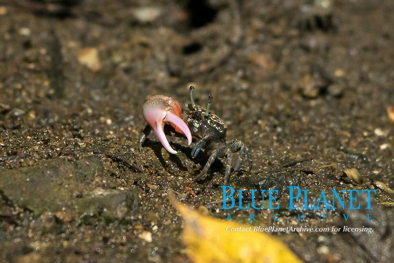 fiddler crab, Paraleptuca boninensis, endemic species, Bonin Islands, Ogasawara Islands, UNESCO Natural World Heritage Site,  Tokyo, Japan, Pacific Ocean