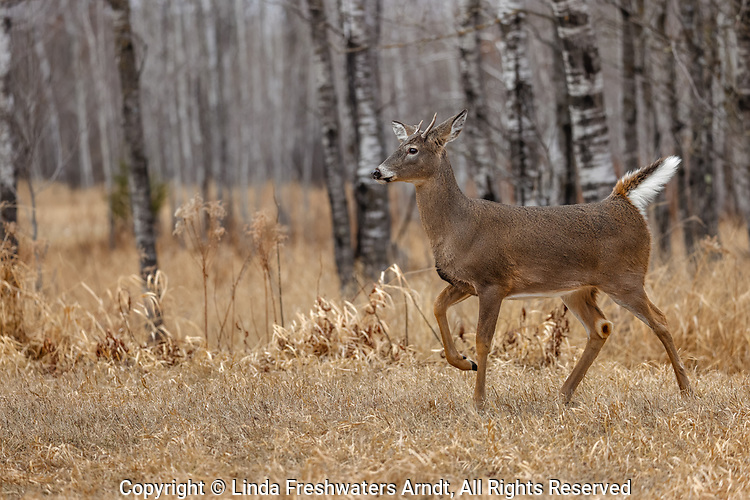 Young white-tailed buck alarmed by something in the distance.