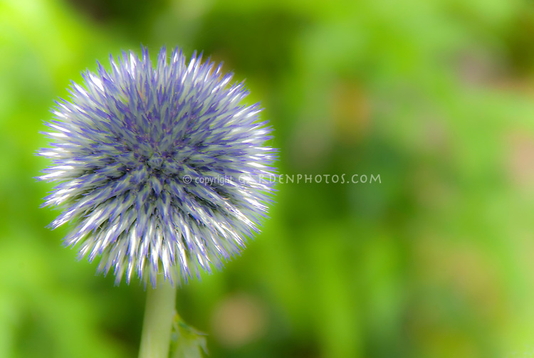 Glowing blue round flower against soft green background, spiky Echinops globe thistle with prickly blooms in blue and white in very soft focus