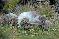 Hermelijn met konijn. .