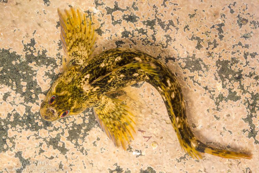 Common Blenny {Lipophrys / Blennius pholis} camouflaged in rockpool. Isle of Mull, Scotland. June.