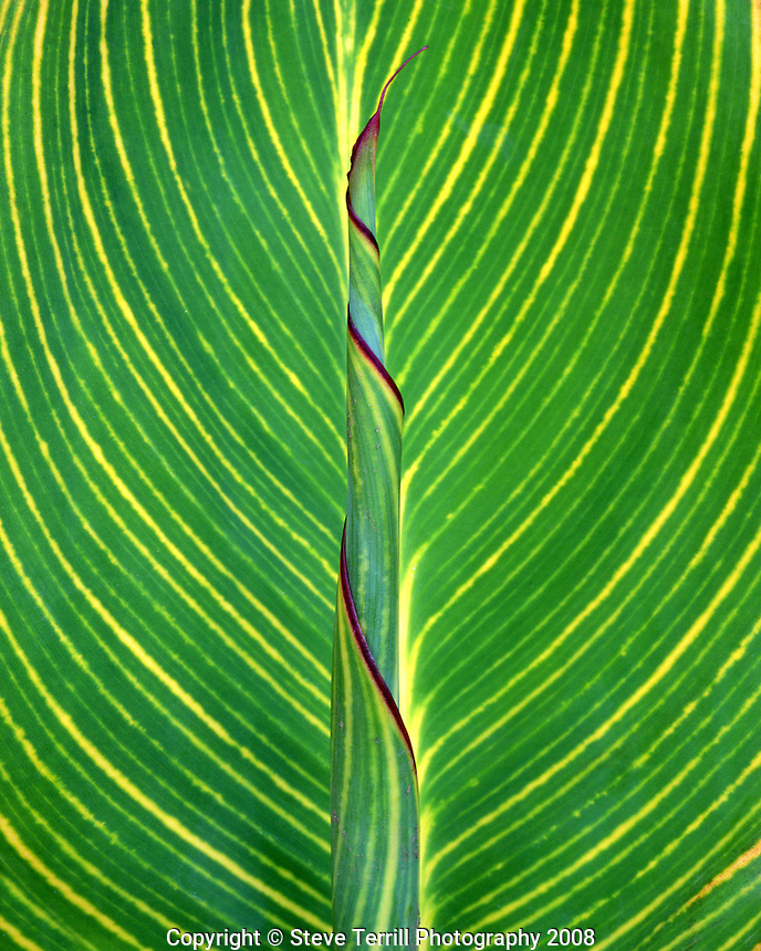 Variegated calla lily leaf unfurling in Multnomah County Oregon