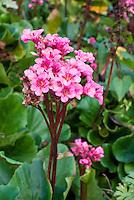 Bergenia Autumn Magic in flower bloom