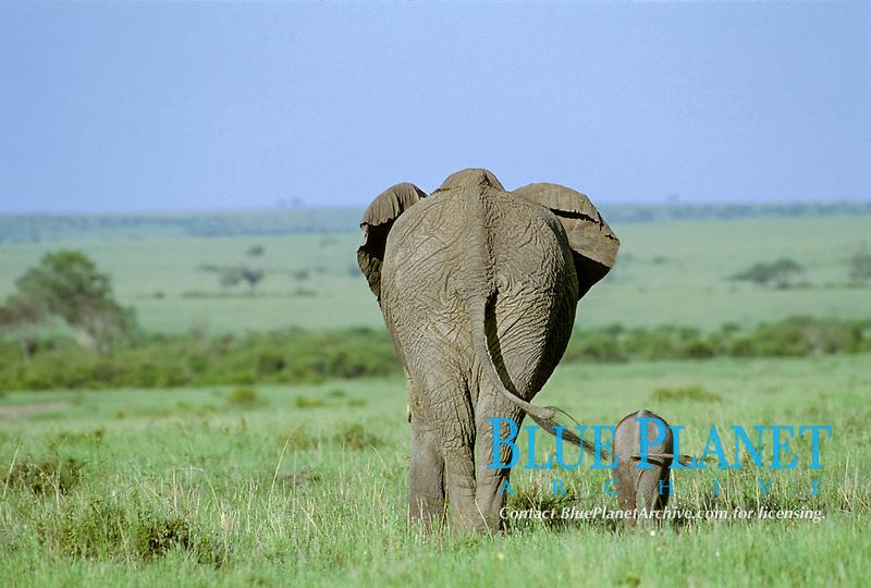 Elephant ( Loxodonta africana ) with calf from behind, Masai Mara National Reserve, Kenya, Africa