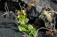 Spanien, Kanarische Inseln, La Palma, Fuencaliente, Weinrebe am Vulkan Teneguia