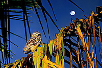 Animais. Aves. Coruja-buraqueira ( Athene cunicularia ). Foto de Silvio Dutra.
