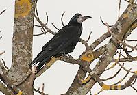 Carrion Crow (Corvus corone) at Abington, Scottish Borders, Scotland.