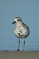 Black-bellied Plover (Pluvialis squatarola) - Juvenile, with start of black breeding plumage, walking on the shoreline