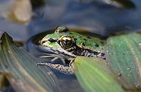 Seefrosch, See-Frosch,  Pelophylax ridibundus, Rana ridibunda, Grünfrosch, Frosch, Frösche, Marsh Frog