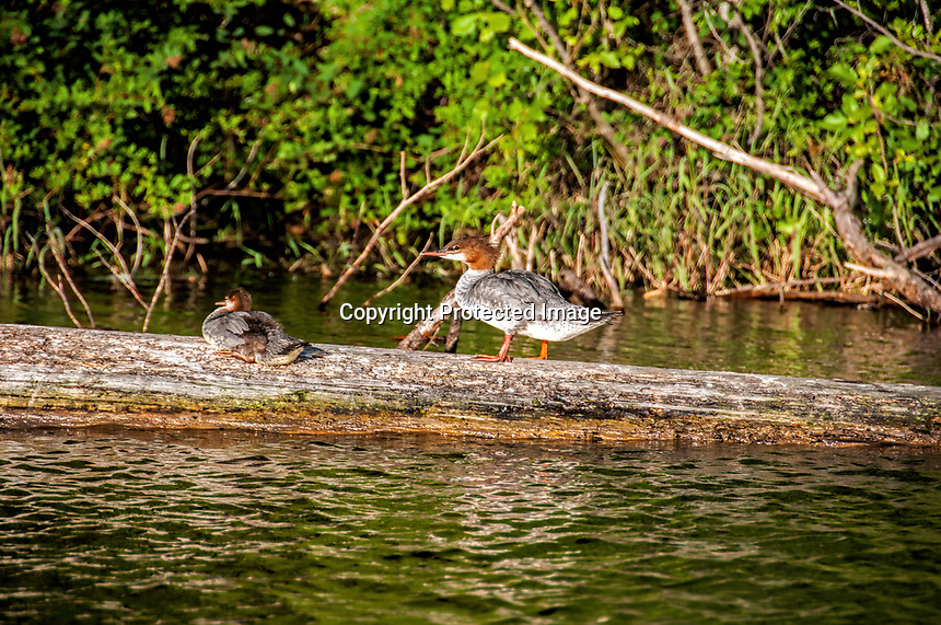 Summer at Clear Lake in the Willamette National Forest, Oregon. A few of many female Merganser's roosting on logs in the lake.