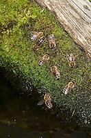 Honigbiene, Honigbienen trinken Wasser an einer Wasserstelle aus feuchtem Moospolster, Honig-Biene, Biene, Apis mellifera, Apis mellifica, honey bee, hive bee