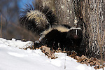 Striped Skunk (Mephitis mephitis) in the snow.  Minnesota.