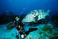 Potato cod, Epinephelus tukula, with diver, Great Barrier reef, Australia
