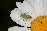 Zweipunktige Wiesenwanze, Zweipunktige Weichwanze, Closterotomus norvegicus, Cimex bipunctatus, Closterotomus norwegicus, Calocoris norvegicus, Potato Bug, Potato Capsid, Strawberry Bug, Weichwanze, Weichwanzen, Miridae, Plant Bugs
