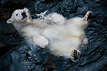 Pictured: A smiling polar bear lazily floats belly-up in a pool of water.    The happy bear is just one year old and lives with his mother in a German zoo, and could weigh as much as ten men when fully grown. <br /> <br /> The marine mammals actually have black skin, but their translucent fur reflects visible light, making it appear white.    These photographs were taken by hobby wildlife photographer Antje Wenner-Braun, at the Hannover Adventure Zoo in Northern Germany.   SEE OUR COPY FOR DETAILS<br /> <br /> Please byline: Antje Wenner-Braun/Solent News<br /> <br /> © Antje Wenner-Braun/Solent News & Photo Agency<br /> UK +44 (0) 2380 458800