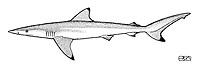 Whitenose Shark