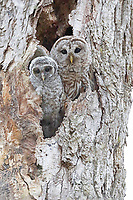 Barred owl mom and chick