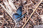 karner blue butterfly female standing on twig, concord, new hampshire