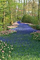 """Hollande, région des champs de fleurs, Lisse, Keukenhof,.rivière de muscaris bordée de tulipes // Holland, """"Dune and Bulb Region"""" in April, Lisse, Keukenhof, river of muscaris or.rivière de muscaris or Grape Hyacinth surrounded by tulips."""