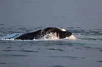 Humpback whales (Megaptera novaeangliae) Lunge feeding on Capelin (Mallotus villosus) in calm sea. Edgeoya, Svalbard archipelago, Arctic Ocean