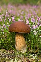 Echter Steinpilz, Herrenpilz, Fichten-Steinpilz, Fichtensteinpilz, Edelpilz, Boletus edulis, penny bun, porcino, cep, bun mushroom