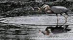 A Great Blue Heron catches supper. (DOUG WOJCIK MEDIA)