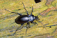 Goldleiste, Purpur-Laufkäfer, Purpurlaufkäfer, Laufkäfer, Carabus violaceus, violet ground beetle