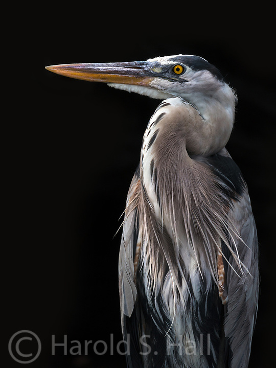 A Galapagos blue heron poses for a portrait.