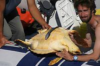loggerhead turtle, Caretta caretta, Azores Island, Portugal, North Atlantic